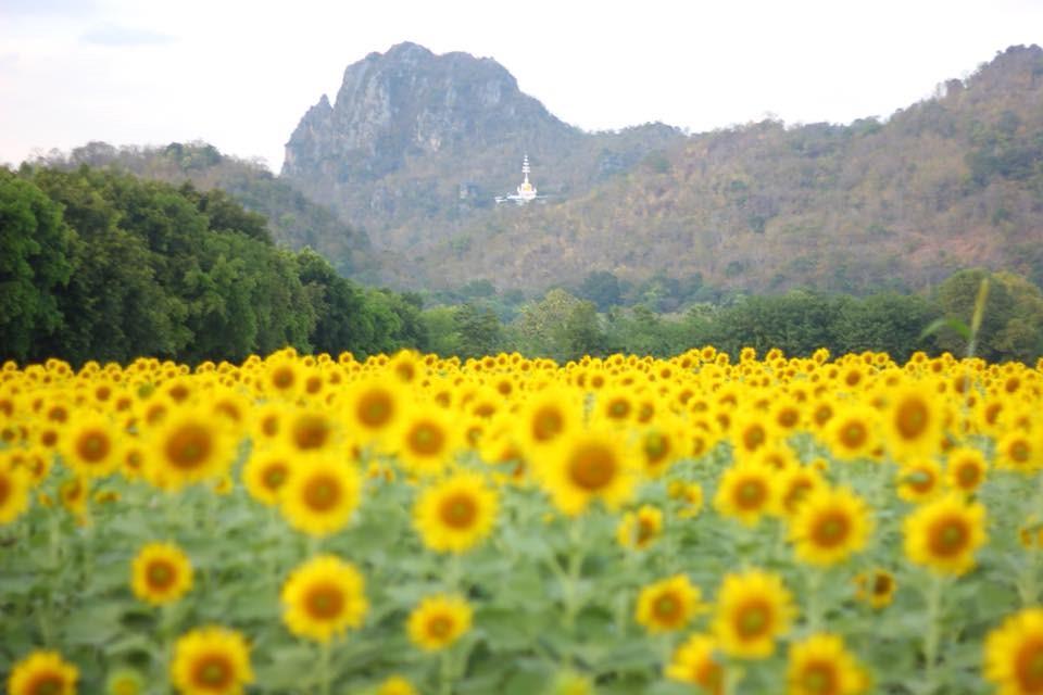 เที่ยว ทุ่งทานตะวัน 2562 บานสะพรั่ง รับลมหนาว จังหวัดลพบุรี รีวิวท่องเที่ยว รีวิวเที่ยวไทย เที่ยวไทย