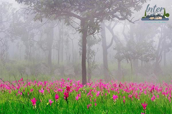 เที่ยวไทย 2563 ทุ่งดอกกระเจียว เสน่ห์หน้าฝน ที่เที่ยวถ่ายรูปสวย จังหวัดชัยภูมิ ที่เที่ยว เที่ยวชัยภูมิ